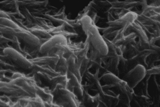 Bio-Batteries Could be Powered by Shewanella Bacteria